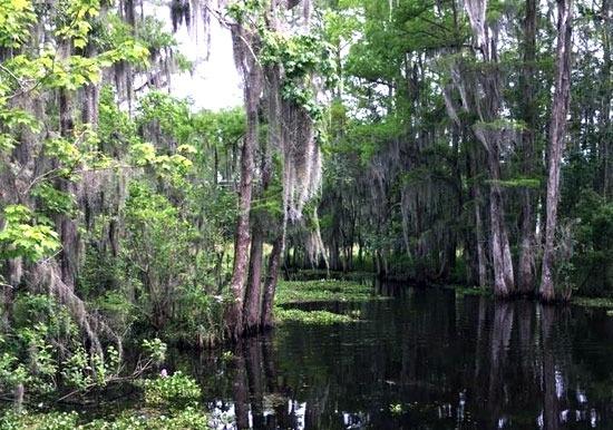 Swamp trees hanging greenery